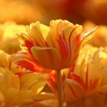 Аватар Желтые тюльпаны