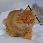 Аватар Рыжий кот идет по снегу