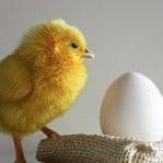 Аватар Маленький желтый цыпленок стоит околого белого яйца