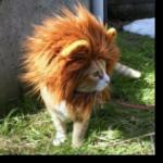 Аватар Котёнок в львином парике