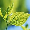 Аватар Зеленый листок, облитый солнечным светом