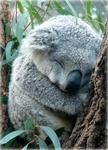 Аватар Спящая коала на дереве