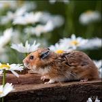 Аватар Рыжий хомяк сидит на бревне и нюхает ромашку, вокруг него цветы