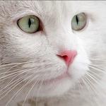 Аватар Мордочка белого кота крупным планом