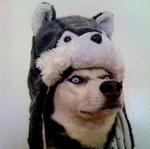 Аватар Собака породы Хаски в шапке-хаски