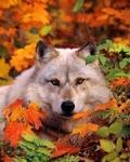 Аватар Волк в осенних листьях