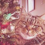 Аватар Серый кот с недовольной мордой у красной елки
