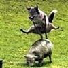 Аватар Волк перепрыгивает через овечку