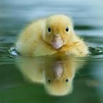 Аватар Плывущий по воде желтый утенок