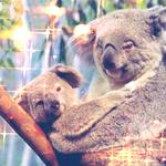 Аватар Коала с малышом на дереве