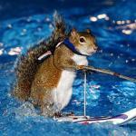 Аватар Смешная белка задрав хвост мчится по водной глади на лыжах