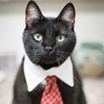 Аватар Черный кот с белым воротником и красным галстуком на шее