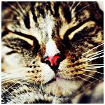 Аватар Сладко спящая кошка с розовым носиком