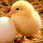 Аватар Желтый цыпленок стоит возле яйца