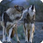 Аватар Волк смотрит на воющего рядом волка