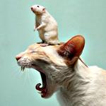 Аватар Кот сладко зевает, широко раскрыв пасть, а на голове у него сидит на задних лапках мышь