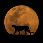 Аватар Гепард идет на фоне луны, ночью