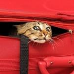 Аватар Рыжий кот вылезает из красной сумки