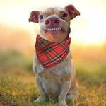 Аватар Собака с неправильным прикусом в косынке на шее