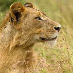 Аватар Молодой лев, ву Robert Sommer
