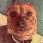 Аватар Морда йоркширского терьера в кусочке хлеба