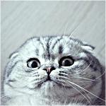 Аватар Шотландская вислоухая кошка лежит на спине