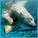 Аватар Белый медведь под водой