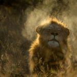 Аватар Лев на природе, ву Marlon du Toit