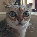 Аватар Кошка с выпученными от удивления глазами