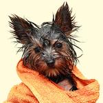 Аватар Мокрый после душа песик в банном халате