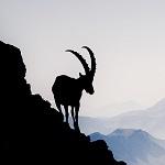 Аватар Силуэт горного козла на фоне неба