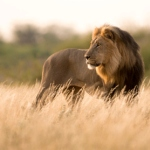 Аватар Лев на природе