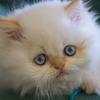 99px.ru аватар Белый пушистый котенок