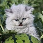 Аватар Морда светло-серого котенка с голубыми глазами, рассматривающего арбуз