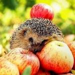 Аватар Ежик лежит на яблоках