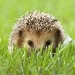 Аватар Ежик спрятался в траве