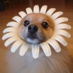 Аватар Прикольный пес в маске в виде ромашки