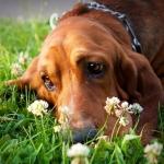 Аватар Грустный пес лежит в цветах