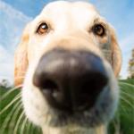 Аватар Собака породы лабрадор