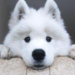 Аватар Морда щенка белой окраски, который смотрит на нас