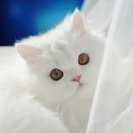 Аватар Красивый пушистый котик