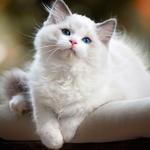 99px.ru аватар Белый пушистый голубоглазый котенок сидит на коврике и смотрит на нас