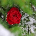 99px.ru аватар Красная роза на ветке ели, покрытой снегом