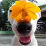 Аватар Белый щенок с цветком на носу
