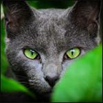 Аватар Пепельный кот с зелеными глазами