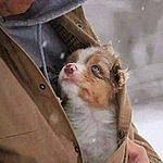 Аватар Щенок с благодарностью и преданностью смотрит вверх на человека, согревшего его зимой под теплой курточкой
