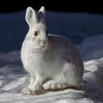 Аватар Белый заяц сидит на снегу
