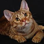 Аватар Рыжий кот на черном фоне
