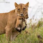 Аватар Львица держит львенка в зубах