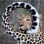 Аватар Леопард держит хвост кольцом перед собой